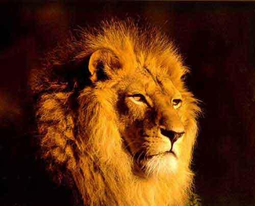 ***(((الحب والعشق في الشعر الحديث)))*** Zoo_lion